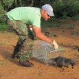 White-tailed Mongoose Release, 2012.jpg