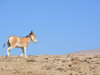 Ziba, the First Telemetered Ungulate in Iran, 2016.png